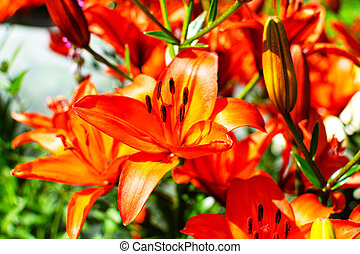 Beautiful orange lily in a blooming garden.