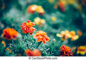 beautiful orange marigold flowers blooming