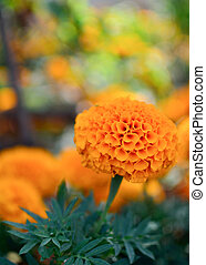 Beautiful orange Marigold flowers