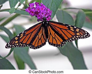 beautiful orange monarch butterfly on butterfly bush