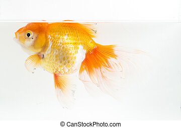 Beautiful Orange Oranda Goldfish (Carassius auratus) diving...