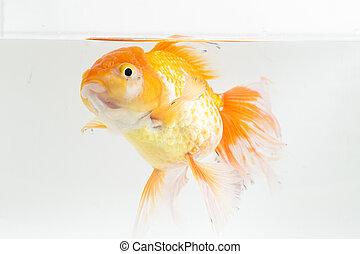 Beautiful Orange Oranda Goldfish (Carassius auratus) diving in fresh water glass tank isolated on white background