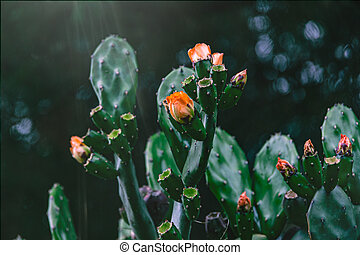 orange prickly pear cactus flower on a background of green in the garden
