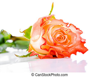 beautiful orange rose flower on light background with drops, close up