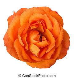orange rose head isolated on white background