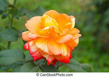 Beautiful orange rose in the garden