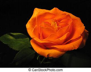 beautiful orange rose isolated on black