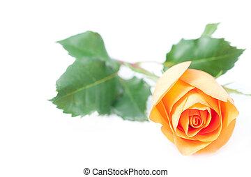 beautiful orange rose isolated on white