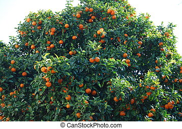 Beautiful orange tree in the winter