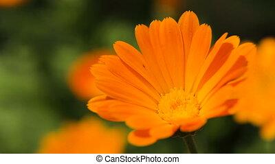 Beautiful orange wildflower - Closeup on beautiful orange...