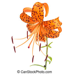 beautiful orange with spotted lily flower isolated on white background