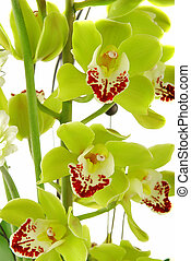 Beautiful orchid - Beautiful yellow orchid (cymbidium)...