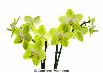 Beautiful orchid - Beautiful yellow orchid (Phalaenopsis)...