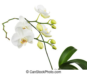 Beautiful orchid branch isolated on white background.