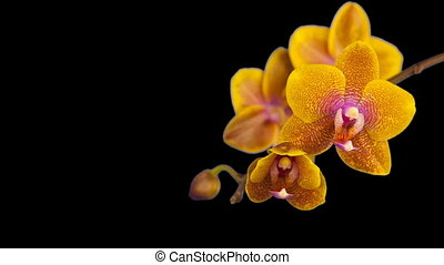 beautiful orchid flower blooming on black background