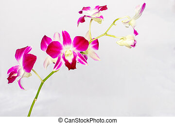 Beautiful Orchid isolated on a white background