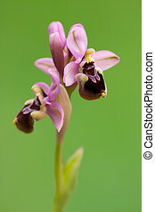 Beautiful orchid from ophrys genus isolated on green background.