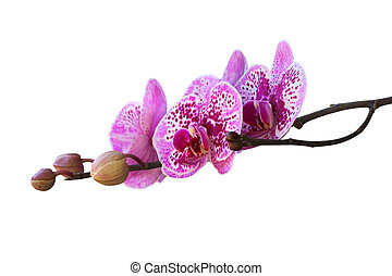 Beautiful orchid isolated on white background.