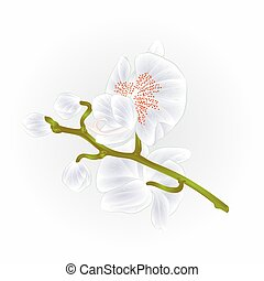 Beautiful  Orchid Phalaenopsis stem with White flowers and  buds closeup isolated vintage  vector.eps