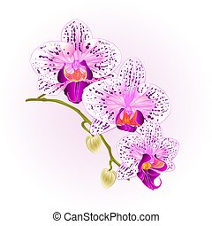 Beautiful  Orchid purple and white Phalaenopsis stem with flowers and  buds closeup  vintage  vector.eps