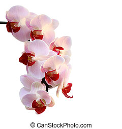 Beautiful orchid purple isolated