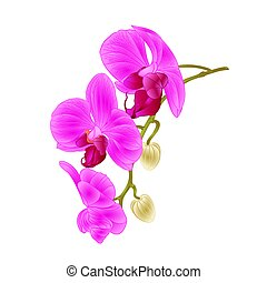Beautiful  Orchid purple Phalaenopsis stem with flowers and  buds closeup  vintage  vector.eps