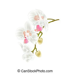 Beautiful  Orchid   stem with white flowers and  buds vintage  vector.eps