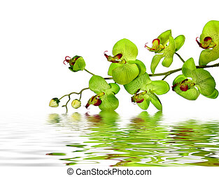 Beautiful Orchid - Elegant Green Orchid Resting Atop Water