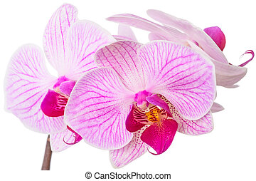 Beautiful orchids on white