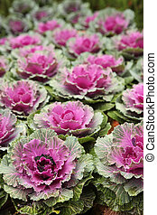 Ornamental Cabbage Outdoors - Beautiful Ornamental Cabbage ...