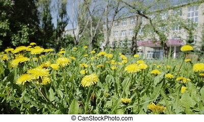 Beautiful overgrown with yellow dandelions.