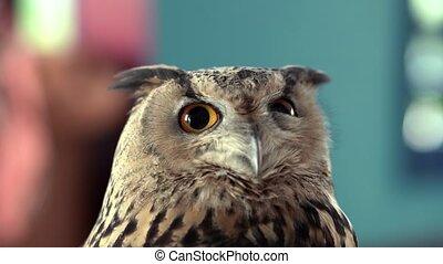 Beautiful Owl close up. Owl eyes. Background