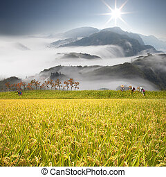 Beautiful paddy place - Beautiful paddy with nice background
