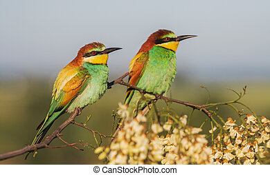 beautiful pair of birds of paradise on a blossoming branch