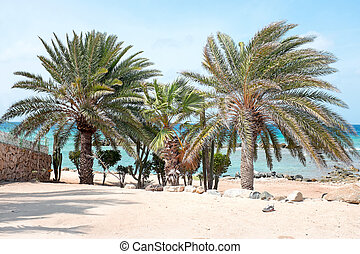 Beautiful palm trees on Aruba island in the Caribbean Sea