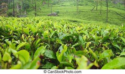 Beautiful panoramic footage of highland tea plantation at ...