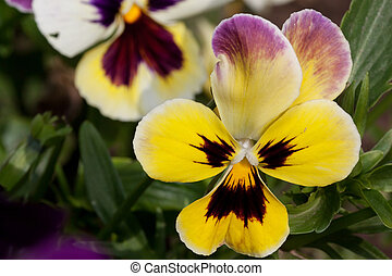 Beautiful pansies are growing on a green meadow.