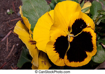 Beautiful pansies are growing on a green meadow. Live nature.