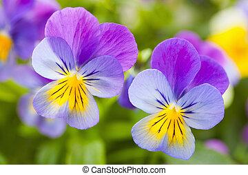 beautiful pansy summer flowers in garden