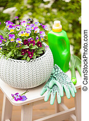 beautiful pansy summer flowers in garden, tools