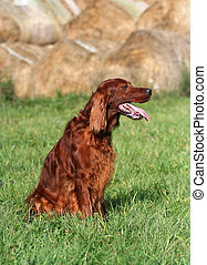 Beautiful panting hunting dog sitting in the grass