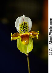 beautiful paphiopedilum exotic flowers