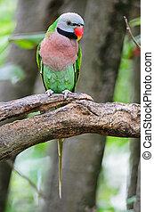 Red-breasted Parakeet - Beautiful Parakeet bird, Red-...