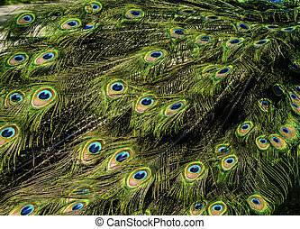 beautiful pattern of colorful peacock tail feathers