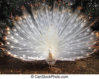 beautiful peacock albino - Albino peacock with tail fully...