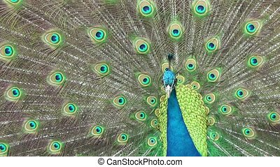 Beautiful peacock close up