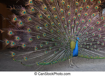 Beautiful peacock with its feathers fully extended