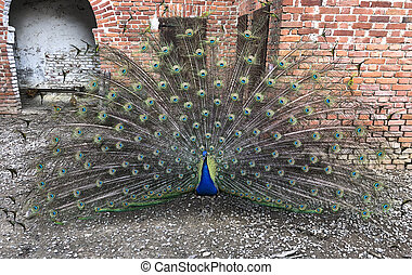 beautiful peacock with open wings