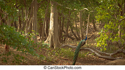 Beautiful peacoxk sitting on a tree.