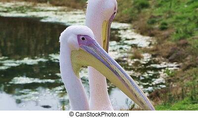 Beautiful Pelican - little groups of beautiful pelican...